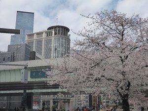 2019日本橋桜1.jpg