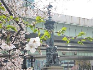 2019日本橋桜2.jpg
