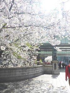 2019日本橋桜4.jpg